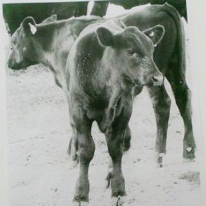 2015-07-28 treibs heifers 2-15 003