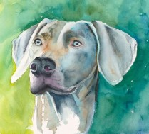 weimaraner watercolor by annette bennett